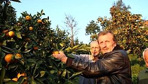 Rize'de, satsuma cinsi mandalinada hasat zamanı