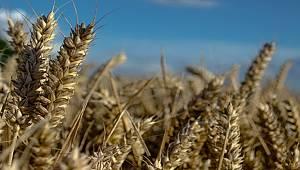 Siyez buğdayı umut kapısı oldu