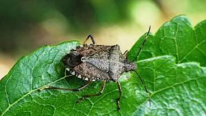 Üreticiye Yeşil ve Kahverengi kokarca uyarısı